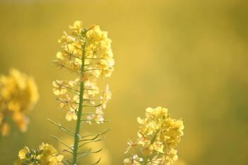 菜の花1.jpg